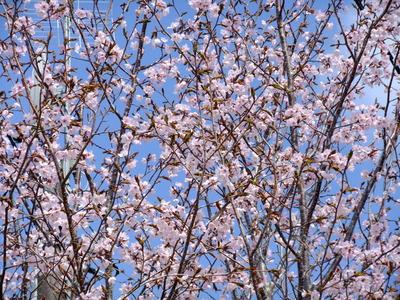 2013_05122013アニバーサリ桜0002.JPG