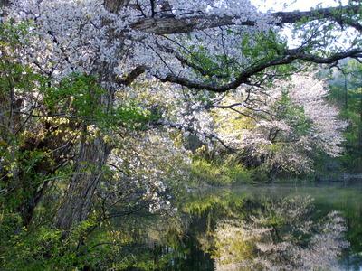 2013_05182013アニバーサリ桜0072.JPG